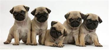 Puppies In Pug Puppies For Sale