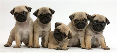 pug breeders pug puppies for sale