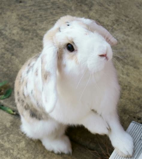 House Rabbit by House Rabbit Pet Image Search Results