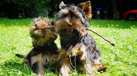 teacup yorkie names teacup yorkie for sale with price and links for adoption
