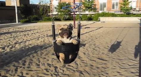 jean swing video daily pet jean claude the french bulldog on a swing