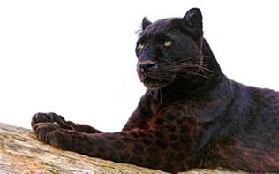 Is A Panther A Jaguar Black Panther Hd Wallpaper And Background 2560x1600