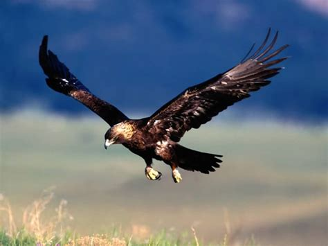 pediapie broad wings golden eagles are great hunters