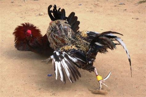 videos de gallos las peleas mas rpidas peleas de gallos rapidas newhairstylesformen2014 com