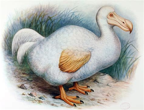 dodo hd wallpapers