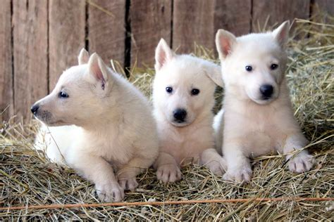 white german shepherd puppies michigan white german shepherd husky mix puppies photo