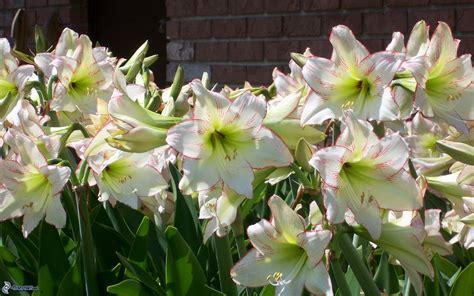 fiori amarillis amaryllis