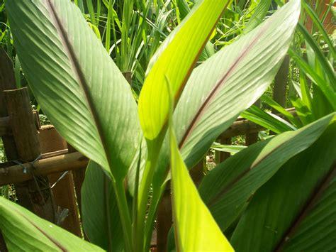 Kunyit Putih Bubuk Curcuma Zedoaria kebun kwt hijau daun keroncong jatiuwung tangerang