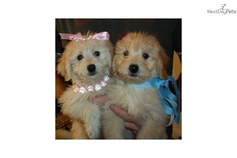 goldendoodle puppies bay area goldendoodle puppy for sale near ta bay area florida 823c3c32 f0a1