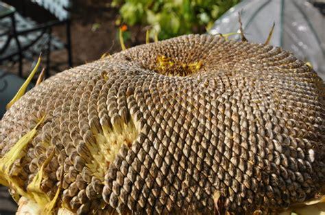 Biji Bunga Lotus Easy Plant image gallery sunflower pods