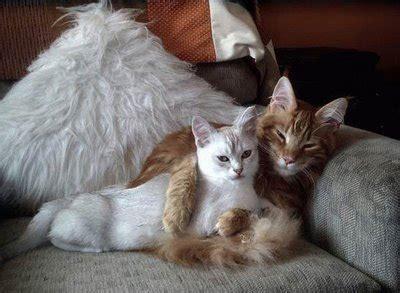 gatti divani gatto abbraccia compagna su divano