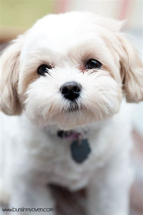 shih tzu and a bichon frise 1000 images about zuchon shichon tzu frise teddy on kinds of