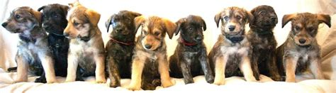 berger picard puppies berger picard picardy shepherd breed information and images
