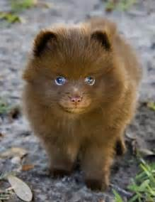 And pomeranian mix full grown pomsky for pinterest