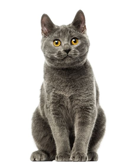 Chartreux Breeders Australia   Chartreux Info & kittens