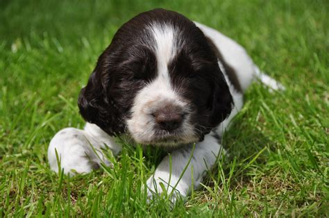 springer puppies springer spaniel puppy on the grass photo and wallpaper beautiful springer