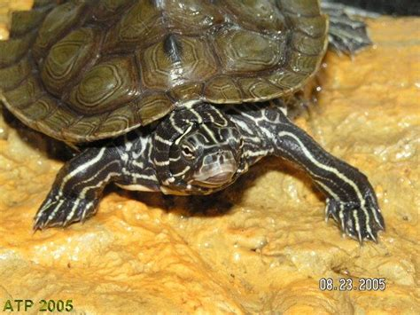 Black Knobbed Map Turtle by Photo Gallery