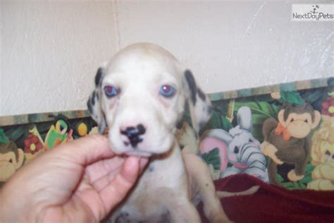blue eyed dalmatian puppies for sale dalmatian puppy for sale near pittsburgh pennsylvania 23877dfb b4b1