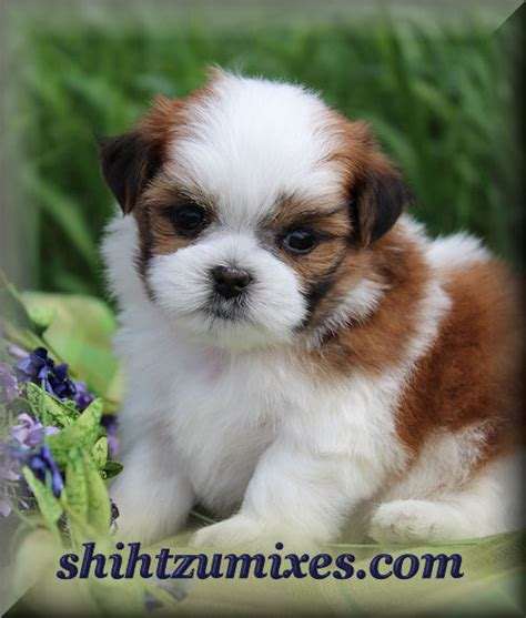 sheshan teddy bear puppies adorable shichon puppies or teddy bear puppies for sale