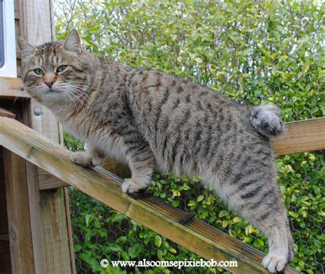 Lynx House Cat by House Lynx Pixie Bob Cat Style