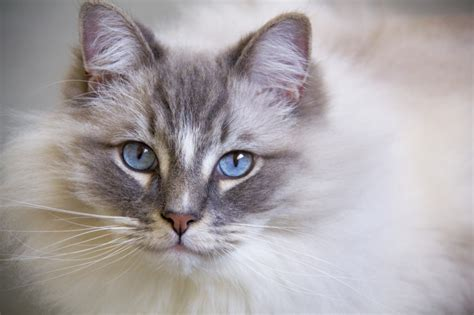 most popular breeds 2017 the uk s most popular cat breeds in 2017 pets4homes