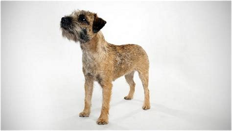 border terrier puppies breeders facts pictures