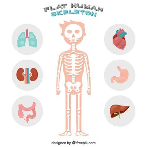 imagenes asombrosas del cuerpo humano simp 225 tico esqueleto humano descargar vectores gratis
