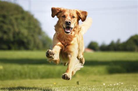 how fast can a golden retriever run the 15 best breeds for running livestrong