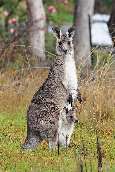 kangaroos original file kangaroo and joey03 jpg wikimedia commons