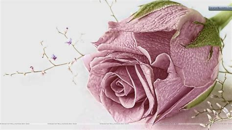 old roses pink rose wallpapers photos images in hd