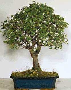 tipi di bonsai da interno schede pratiche pagine verdi bonsai