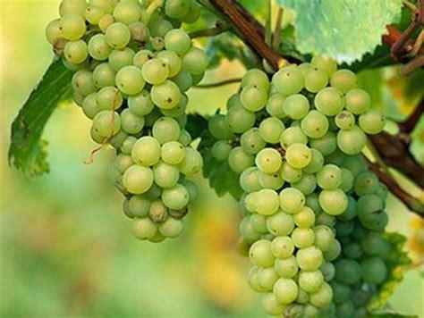 imagenes de uvas kangris las uvas blancas que se cultivan en espa 241 a