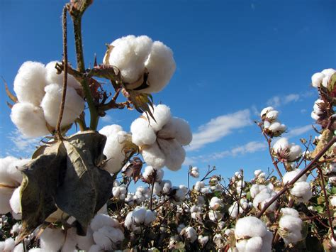 Atomix Cotton Organic Kapas Organic efficient fungus paralyzes and kills pathogens that cause