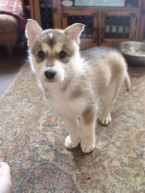 northern inuit puppies for sale northern inuit puppies grantham lincolnshire pets4homes