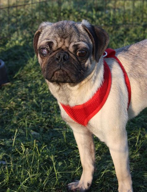 pug eye discharge major pug rescue from animal hoarder in okc animals pets
