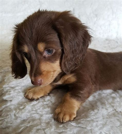 haired dachshund puppies 1000 ideas about haired miniature dachshund on