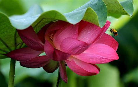 fiore di loto significato fiori di loto significato fiore di loto cina i