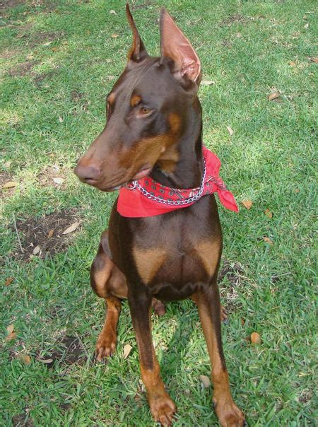 what age do pugs stop growing when is a doberman pinscher grown care daily puppy