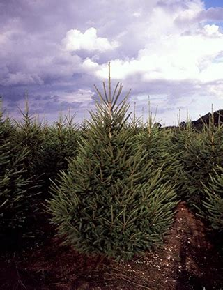pine meadows christmas tree farm tree farms colorado about our tree farm wreaths 100 tree farm