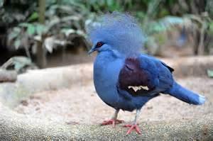 Singapore Home Decor Quot Western Crowned Pigeon Singapore Quot By Ralph De Zilva