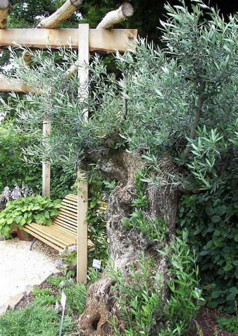 olivenbaum im garten olivenb 228 ume im garten und freiland 252 berwintern 08