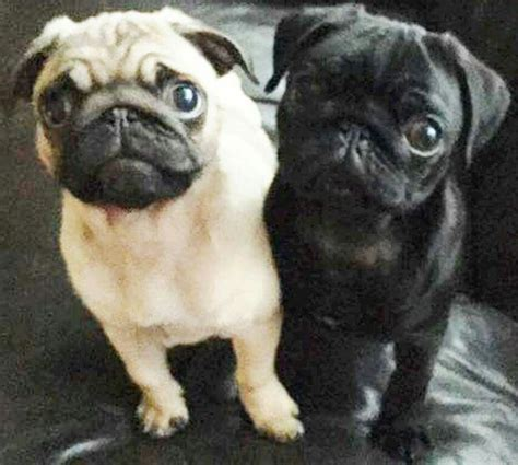 pugs for sale ebay 1000 images about puggys on a pug pug meme and pug