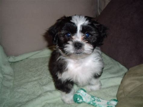 shih tzu havanese puppies havashu havanese and shih tzu mix pictures and information