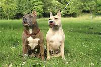 Staffordshire Terrier Is A Result Breeding The White English