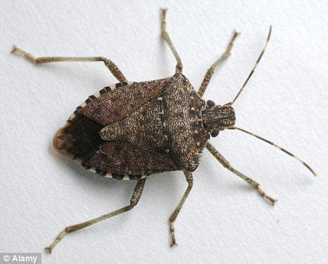 texas flats boats dangerous stink bugs