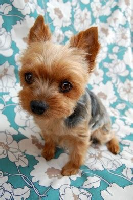 14 year yorkie problems get to the terrier yorkie intelligent dogs with big personalities