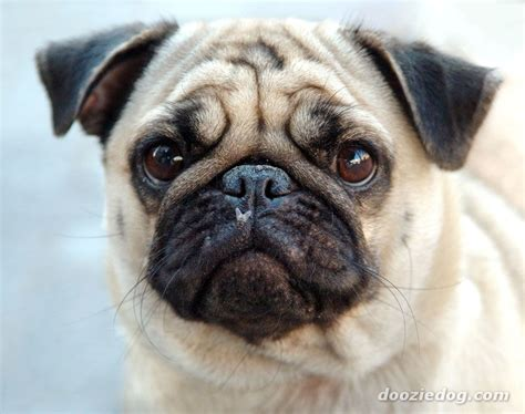 why does my pug shed so much obama urges violence against republicans and undecideds represent bill clinton