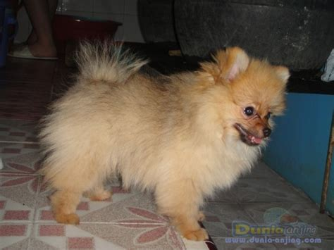 husky pomeranian mix for sale in michigan images of images of pomeranian husky mix for sale florida wallpaper breeds picture
