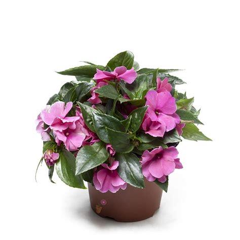 fiori vetro carolina lisetta impatiens impatiens piante annuali