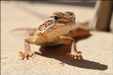 desert lizard: erri up: galleries: digital photography